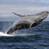 Dezoito mil baleias devem passar pelo litoral brasileiro até novembro