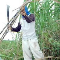 Pesquisadores avaliam expansão da cana-de-açúcar em São Paulo